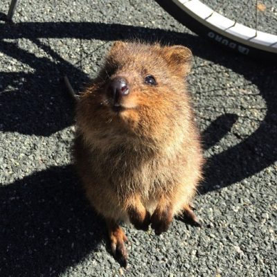 Cute little quokka smiling at camera