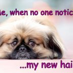 Dog meme. Sad Pekingese Dog. Caption: Me, when no one notices my new hairdo.