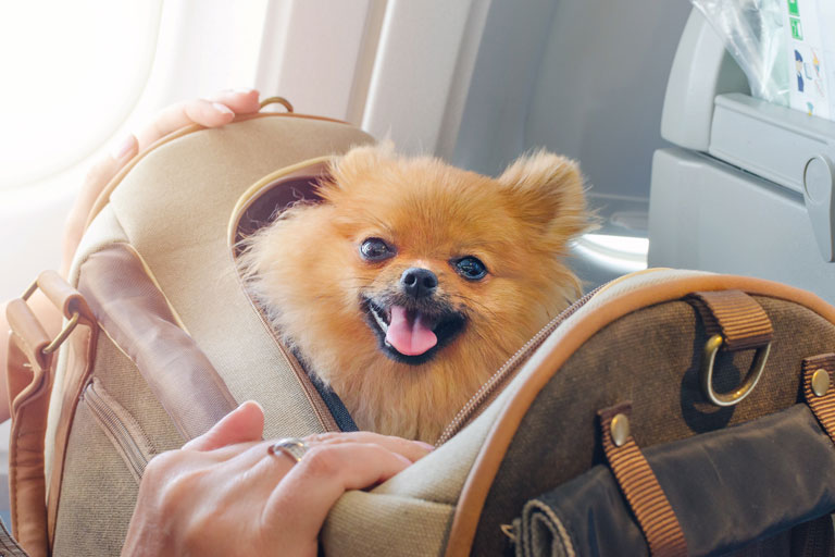 Cute pomeranian dog in a travel carrier on a plane