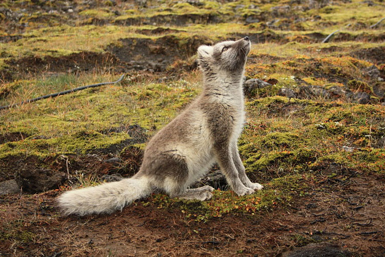 Cute Iceland artic fox looking up towards the sky