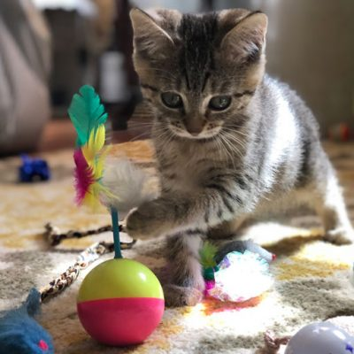 Kitten playing with feather and ball toy