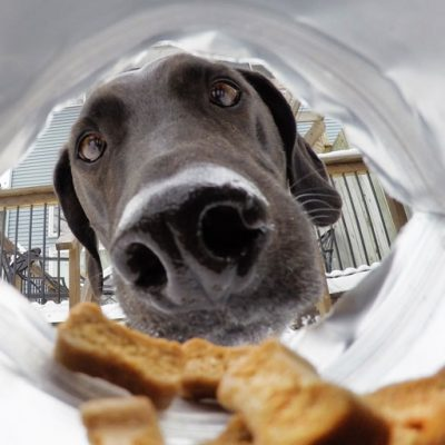 Cute large dog looking inside dog treat bag; view from inside the bag.